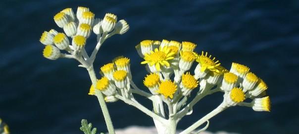 1280px-Helichrysum_italicum_(corsica)